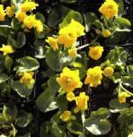 Scharfer Hahnenfuß Multiplex - Ranunculus acris - Vorschau