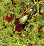 Mexikanischer Sonnenhut - Ratibida columnifera