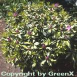 INKARHO - Großblumige Rhododendron Blattgold 25-30cm - Alpenrose