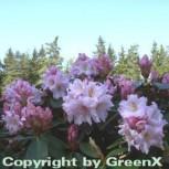 Großblumige Rhododendron Dagmar 30-40cm - Alpenrose - Vorschau