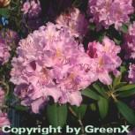 Großblumige Rhododendron Roseum Elegans 50-60cm - Alpenrose - Vorschau