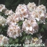 Großblumige Rhododendron Simona 60-70cm - Alpenrose - Vorschau