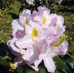 Großblumige Rhododendron Genoveva 25-30cm - Alpenrose