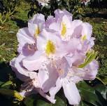 Hochstamm Rhododendron Genoveva 60-80cm - Alpenrose
