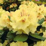 Großblumige Rhododendron Goldbukett 60-70cm - Alpenrose - Vorschau