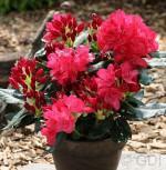 Großblumige Rhododendron Anna Rose Whitney 30-40cm - Alpenrose - Vorschau