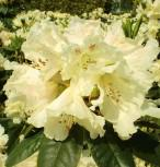 Großblumige Rhododendron Bellini® 30-40cm - Alpenrose - Vorschau