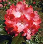Großblumige Rhododendron Berliner Liebe 60-70cm - Alpenrose - Vorschau