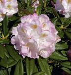 Großblumige Rhododendron Brigitte 30-40cm - Alpenrose - Vorschau