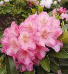 Großblumige Rhododendron Diana 30-40cm - Alpenrose - Vorschau