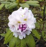 Großblumige Rhododendron Eskimo 25-30cm - Alpenrose - Vorschau