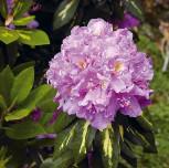 Großblumige Rhododendron Goldflimmer 40-50cm - Alpenrose - Vorschau