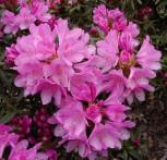 Großblumige Rhododendron Graciella 30-40cm - Alpenrose - Vorschau