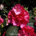 Großblumige Rhododendron Haithabu 30-40cm - Alpenrose - Vorschau