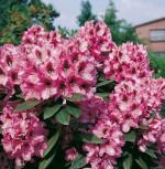 Großblumige Rhododendron Kokardia 30-40cm - Alpenrose - Vorschau
