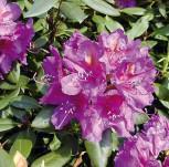 Großblumige Rhododendron Lee´s Dark Purple 60-70cm - Alpenrose - Vorschau
