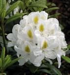 Großblumige Rhododendron Madame Masson 50-60cm - Alpenrose - Vorschau