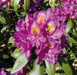 INKARHO - Großblumige Rhododendron Marcel Menard 50-60cm - Alpenrose - Vorschau