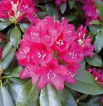 Großblumige Rhododendron Nova Zembla 25-30cm - Alpenrose