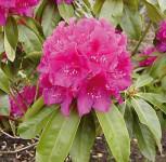 Großblumige Rhododendron Old Port 40-50cm - Alpenrose - Vorschau