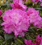Großblumige Rhododendron Omega 30-40cm - Alpenrose - Vorschau