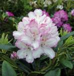Großblumige Rhododendron Picotee® 30-40cm - Alpenrose