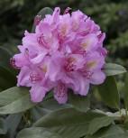 Großblumige Rhododendron Pink Purple Dream 50-60cm - Alpenrose - Vorschau