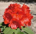 Großblumige Rhododendron Red Jack 30-40cm - Alpenrose - Vorschau