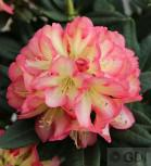 Großblumige Rhododendron Robert de Belder 25-30cm - Alpenrose
