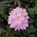 Großblumige Rhododendron Scintillation 50-60cm - Alpenrose - Vorschau