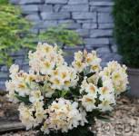Großblumige Rhododendron Spiegelei 40-50cm - Alpenrose - Vorschau