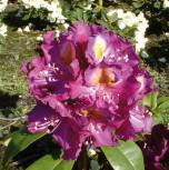 Großblumige Rhododendron Tamarindos 30-40cm - Alpenrose - Vorschau