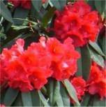 Großblumige Rhododendron Taurus 60-70cm - Alpenrose - Vorschau