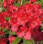 Großblumige Rhododendron Vulcan Flame 30-40cm - Alpenrose