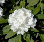 Großblumige Rhododendron Helene Schiffner 30-40cm - Alpenrose - Vorschau