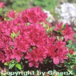 Japanische Azalee Lilac 25-30cm - Rhododendron obtusum - Zwerg Alpenrose - Vorschau