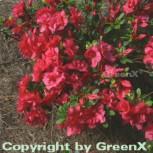 Japanische Azalee Muttertag 15-20cm - Rhododendron obtusum - Zwerg Alpenrose - Vorschau
