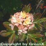 Azalee Cannon Double 30-40cm - Rhododendron luteum - Alpenrose - Vorschau