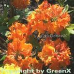 Azalee Goldflamme 30-40cm - Rhododendron luteum - Alpenrose - Vorschau