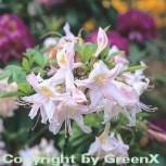 Azalee Sylphides 30-40cm - Rhododendron luteum - Alpenrose - Vorschau