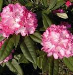 Rhododendron Arabella 40-50cm - Alpenrose - Vorschau