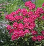 Rhododendron Astrid® 30-40cm - Alpenrose - Vorschau