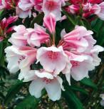 Rhododendron Dear Barbara 20-25cm - Alpenrose