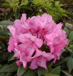 Großblumige Rhododendron Herbstzauber 40-50cm - Alpenrose - Vorschau