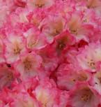 Rhododendron Hinrich 40-50cm - Alpenrose - Vorschau