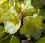 Rhododendron Lucinda 50-60cm - Alpenrose - Vorschau