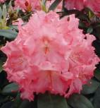 Rhododendron Marlis 30-40cm - Alpenrose - Vorschau