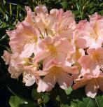 Rhododendron Percy Wiseman 40-50cm - Alpenrose - Vorschau