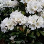 Rhododendron Pirsichcocktail 40-50cm - Alpenrose - Vorschau