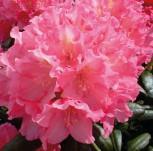 Hochstamm Rhododendron Polaris 60-80cm - Alpenrose - Vorschau